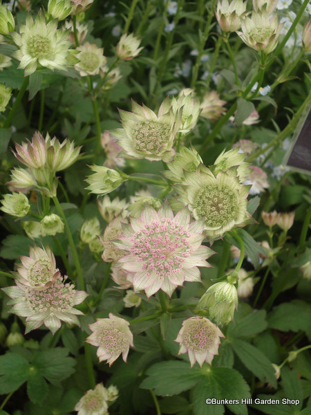 astrantia-major-buckland-2-.jpg