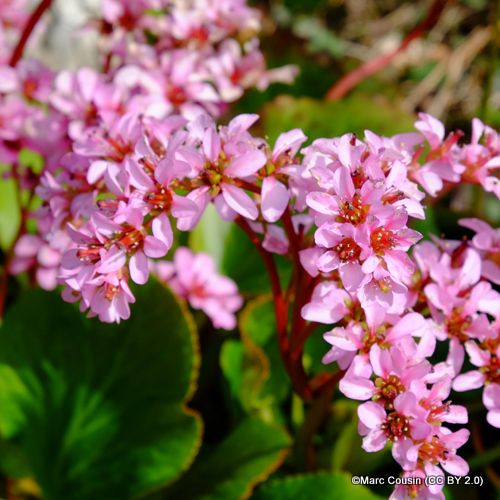 bergenia-cordifolia1-marc-cousin-cc-by-2.0-.jpg