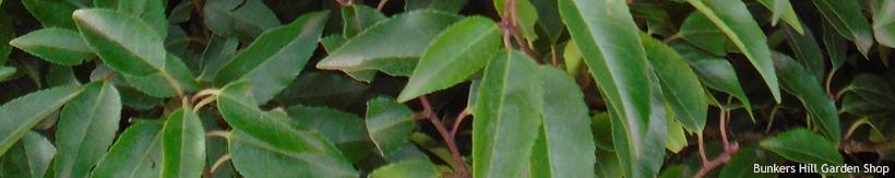 portuguese-laurel-banner.jpg